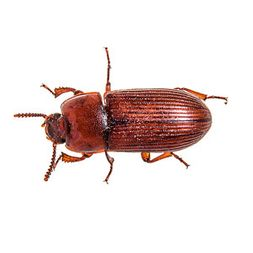 Confused & Red Flour Beetles