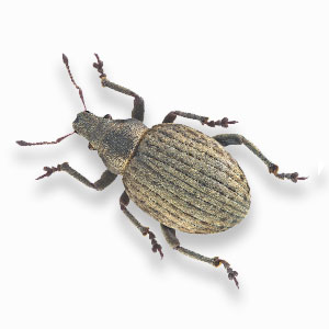 Root Weevil